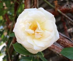 キモッコウバラの八重咲き品種ですね
