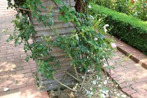 キモッコウバラは樹勢が強く耐病性もあります
