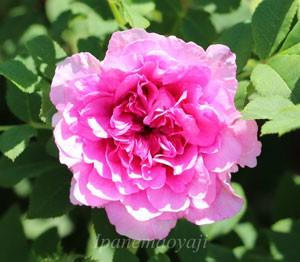 非常に強健で耐病性に優れているバラ