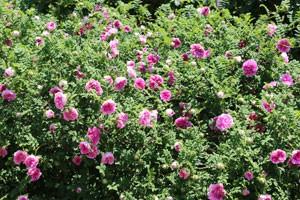 ロゼット咲きの花弁数は100枚以上にもなる