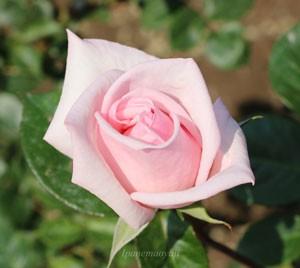 淡いピンク色の剣弁高芯咲きの大輪バラ