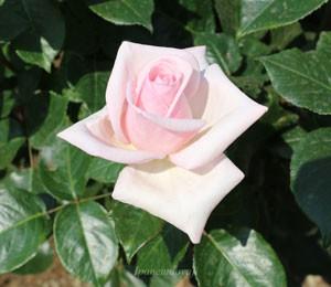 カップソーサーのようなクラシカルな花姿になることもある
