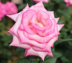 シルバー ライニングの花形は剣弁高芯咲きです