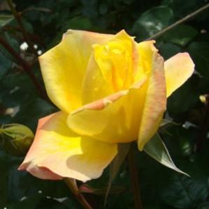スペクトラは秋まで咲き続ける