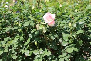 サマーレディは半剣弁高芯咲きです