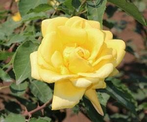 サマー・サンシャインはハイブリッドティー系統のバラ