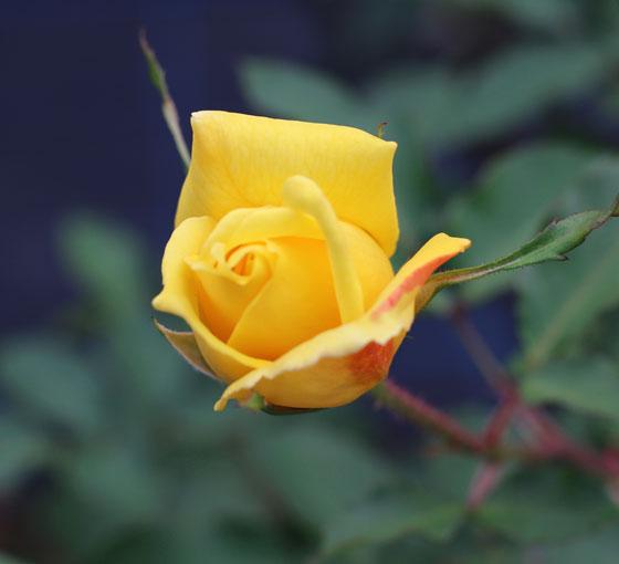 サマー・サンシャインは秋の花には赤色のストライプが入る