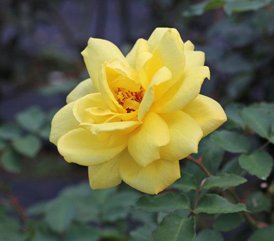 サマー・サンシャインは四季咲き性
