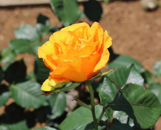 サンダンスは丸弁カップ咲きのバラです