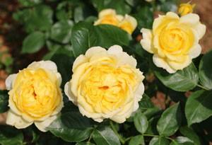 サニー・アンティークは花径が12cmの大輪バラです