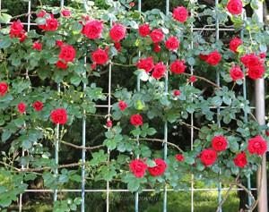 シンパシーは赤色系つるバラの名花といわれます