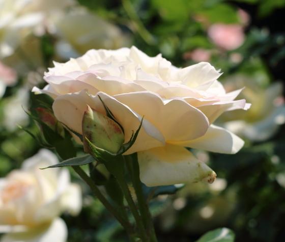 チャイコフスキーは半剣弁ロゼット咲きです