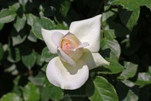 チャイコフスキーは大輪四季咲き品種です