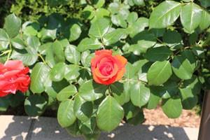 バラ チンチンはフロリバンダ系統