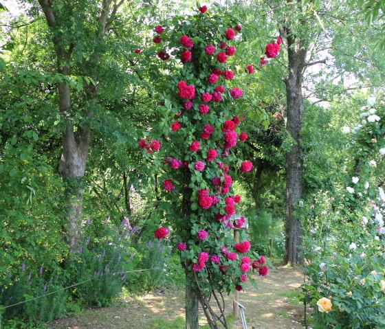 テス・オブ・ザ・ダーバーヴィルズはクリムゾンレッドの魅力的な花色