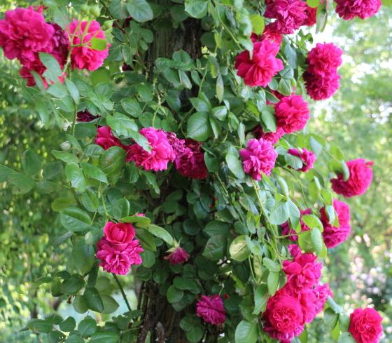 テス・オブ・ザ・ダーバーヴィルズは半つる性の樹形