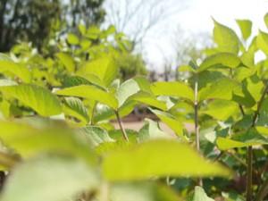 東京都薬用植物園の広大な庭には高木も多く栽培されている