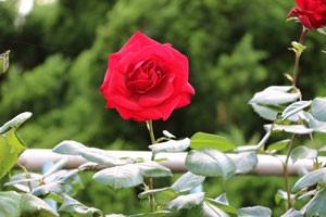 花弁の質がよいので雨などによる褪色が少ない
