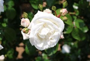 ホワイトニュードーンはつる性系統のバラ