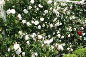 ホワイトニュードーンの花形は半剣弁高芯咲きです