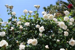 ホワイトニュードーンは繰り返し咲き開花します