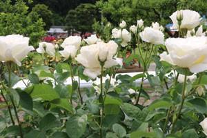 ホワイト クィーン エリザベスは丸弁の平咲きです