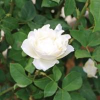 バラ ホワイト・クィーン・エリザベス グランディフローラ系統
