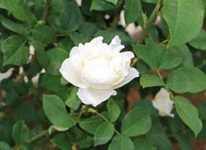ホワイト クィーン エリザベスの花径は約10cmの大輪花です