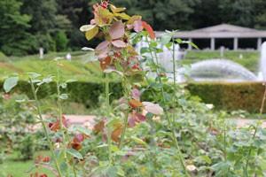 秋のバラ園 神代植物公園の夏剪定