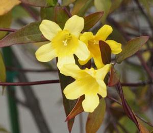 カロリーナ ジャスミンはつる性常緑低木です