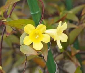 カロリーナ ジャスミンは黄色の小花を咲かせる