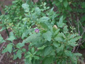 クコはナス科クコ属の落葉低木です