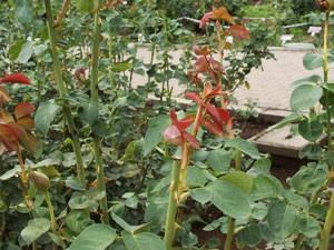 神代植物公園の夏剪定と摘心