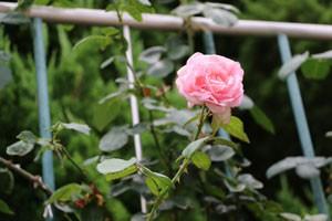 秋のバラ園でつるバラの花が咲いていた