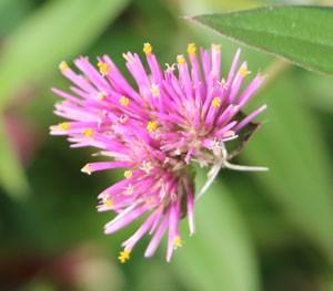 ムラサキシキブ 紫式部