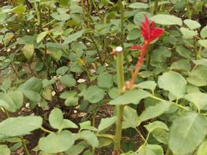 神代植物公園のバラの夏剪定風景