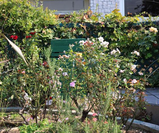 プロトリーフ ガーデンアイランド玉川店には地植えのバラもある
