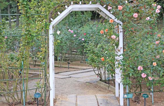 春の生田緑地ばら苑のつるバラ
