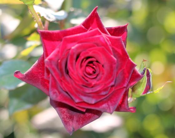 ブラック・バカラは剣弁高芯咲きです