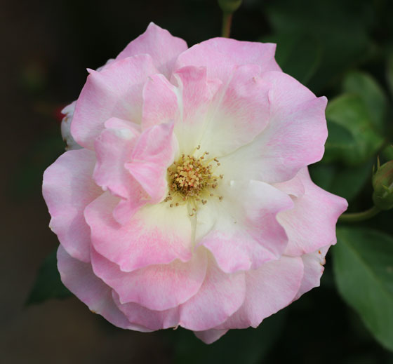 マチルダの花形は八重平咲きです