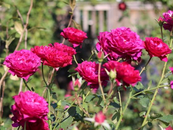 ベルベティ・トワイライトの花色はクリムゾンレッドです