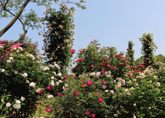 春の京成バラ園の風景 青空が眩しい
