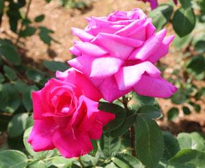 バルバラの花弁は半剣弁抱え咲きです