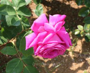 バルバラはダマスク系の芳香がある