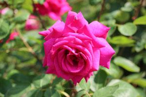 バルバラは四季咲き性です