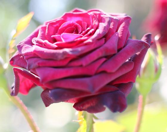 ブラック バッカラは直射日光でも日焼けしにくいバラ