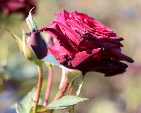 ブラック バッカラは黒赤色のバラです
