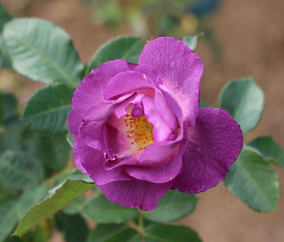 ブルー フォー ユーはフロリバンダ系統のバラ