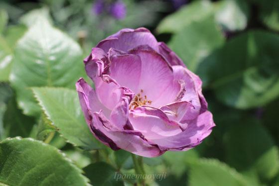 ブルー フォー ユーは新奇性の高い色合いのバラ