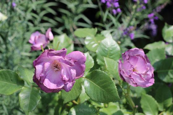 ブルー フォー ユーの花形は半八重咲きです